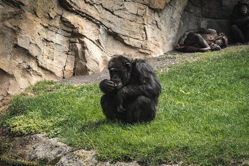 Chimpanzee Sitting on Green Grass
