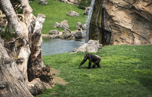 Black Gorilla on Green Grass Field Near Body of Water