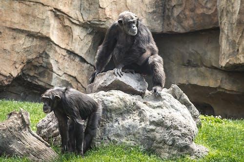Chimpanzee Sitting on Top of Rock