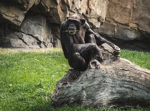 Chimpanzee Sitting on Tree Trunk
