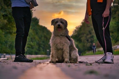 Бесплатное стоковое фото с большая собака, золотой закат