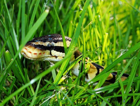 Black Yellow Snake on Green Grass