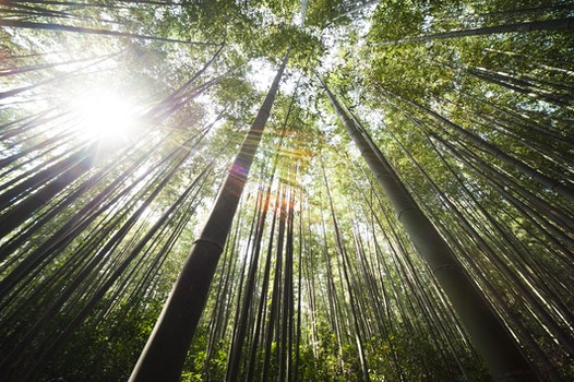 Sunlight over Brown Bamboo Trees