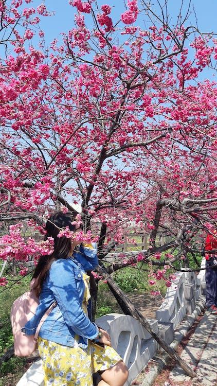 Free stock photo of cherryblossom, taiwan