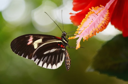 Black and White Butterfly on Red Petal Flower