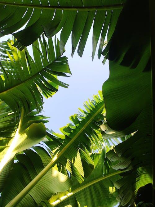 Free stock photo of banana leaves