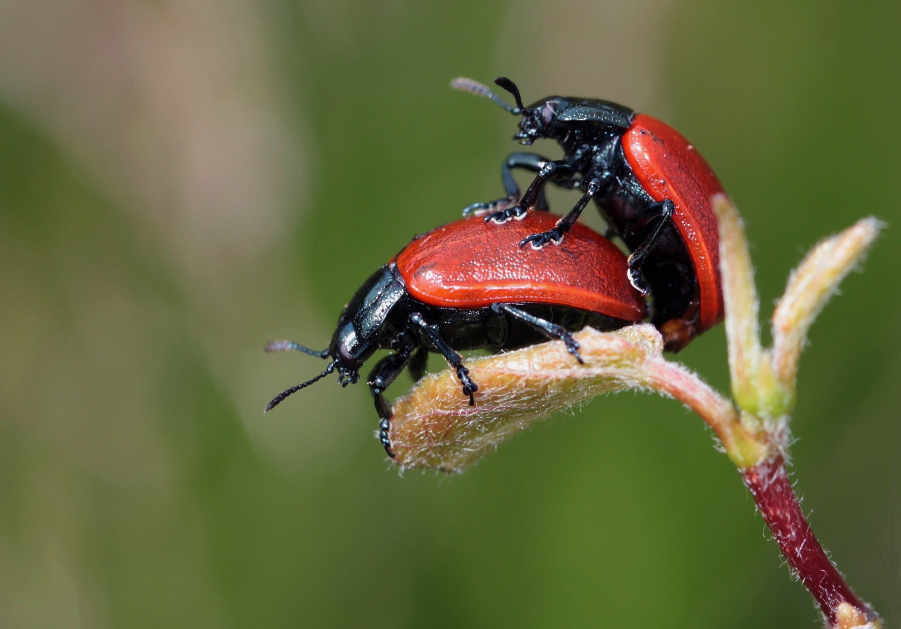 Black Red Beetle on Top of Another Red Black Beetle