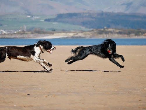 Black and White Short Coat Medium Dog Running on Brown Sand