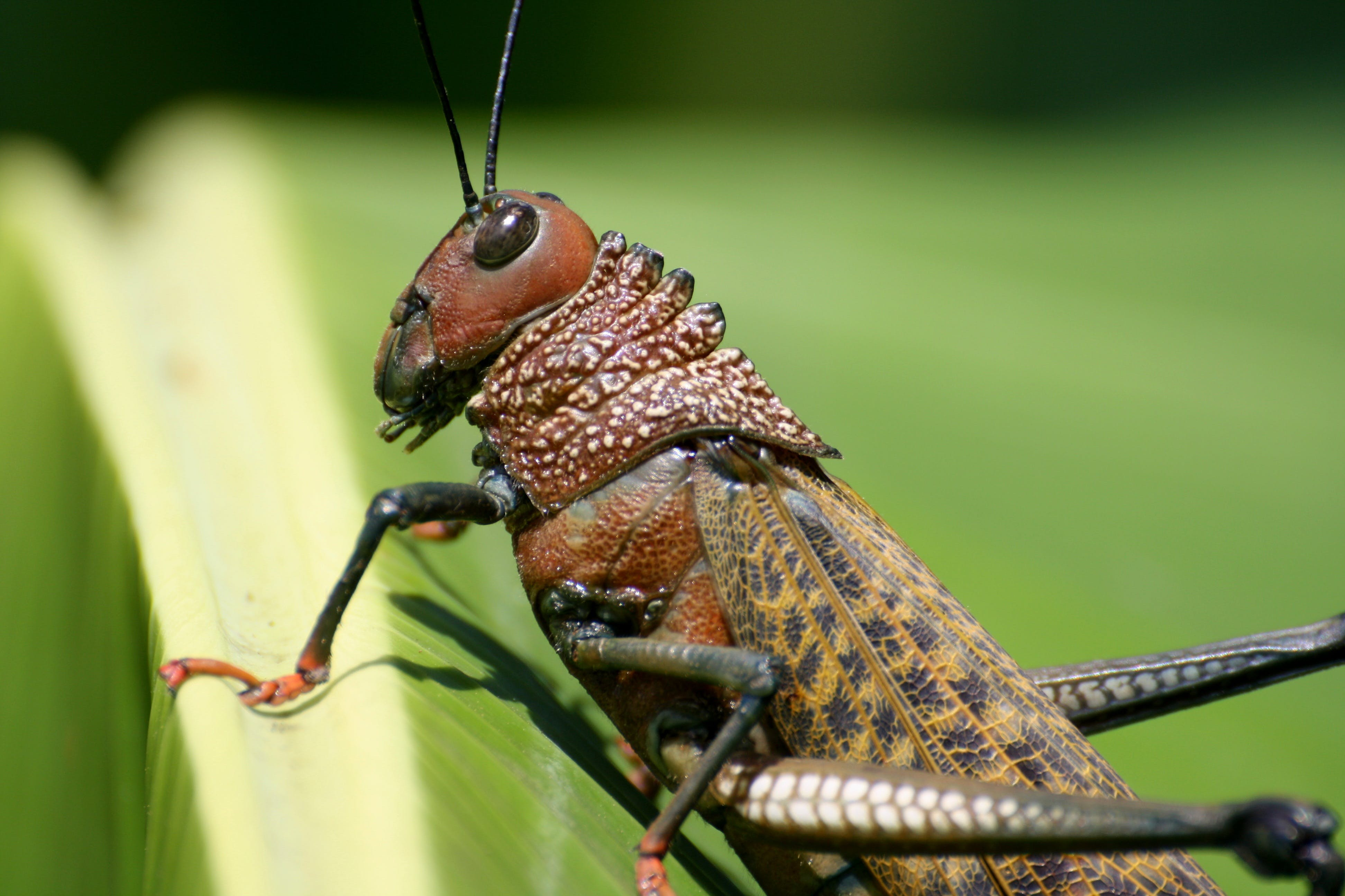 Brown Grasshopper on Green Plant