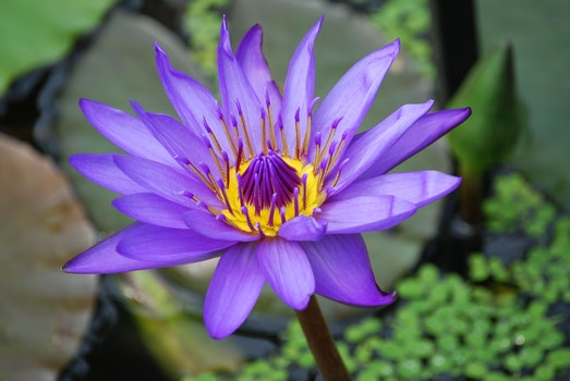 Purple and Yellow Lotus Flower