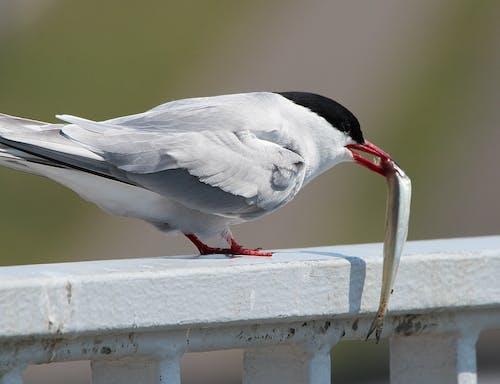 Immagine gratuita di animale, fotografia di animali, sterna artica, uccello di mare