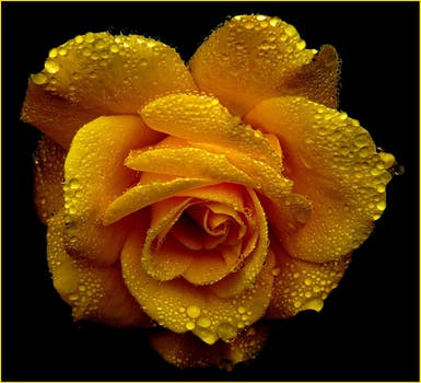 بستان ورد المصــــــــراوية - صفحة 5 Rose-roses-blossom-bloom-54620