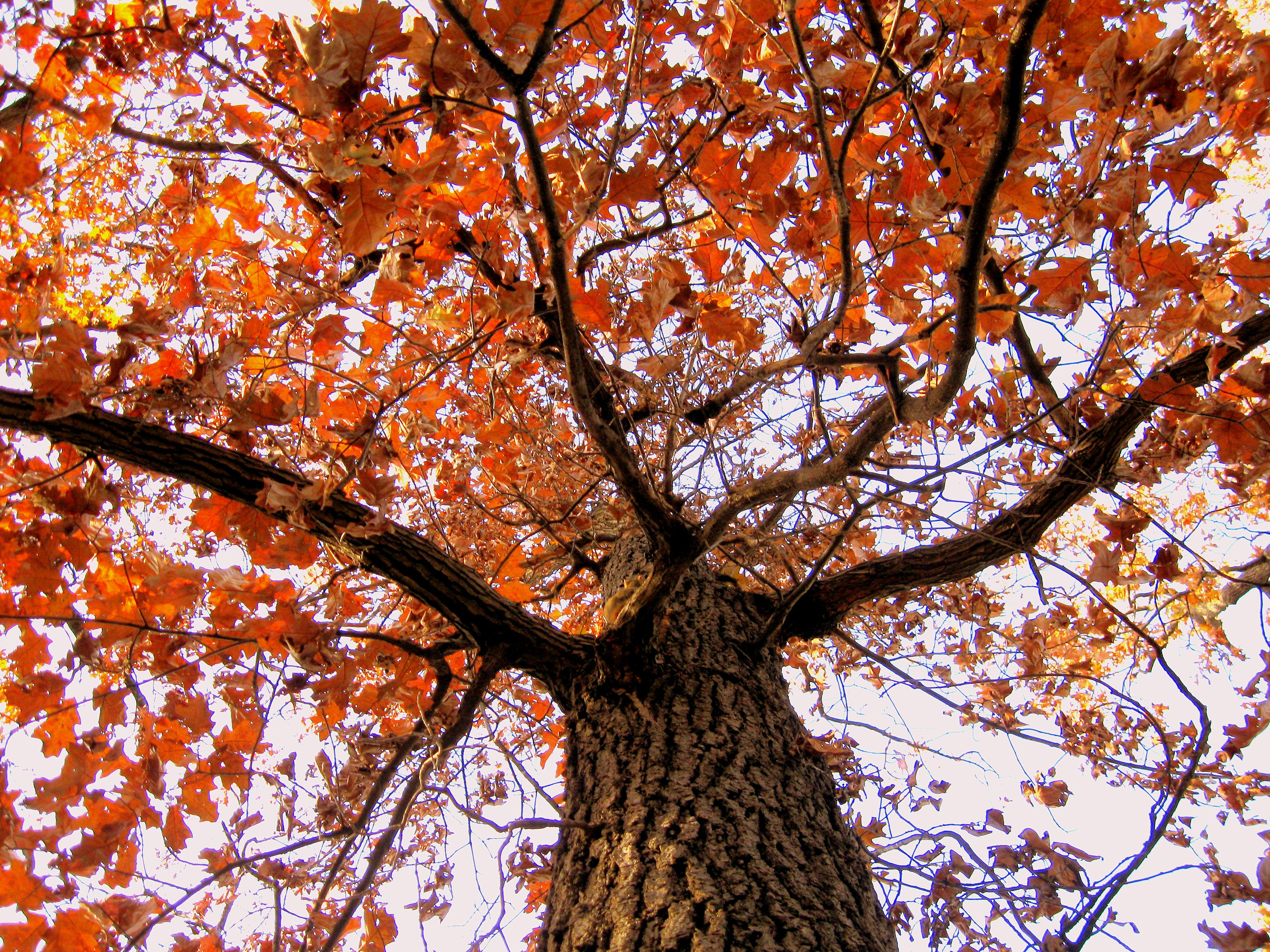 Free stock photo of tree, autumn, orange, autumn leaves