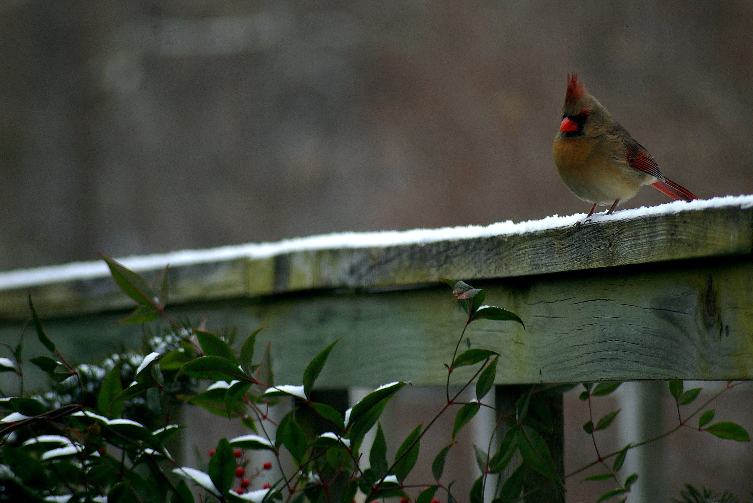 Free stock photo of snow, bird, winter, cardinal