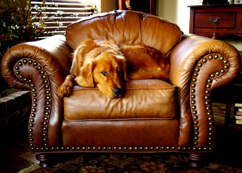 Adult Red Retriever Lying on Armchairs