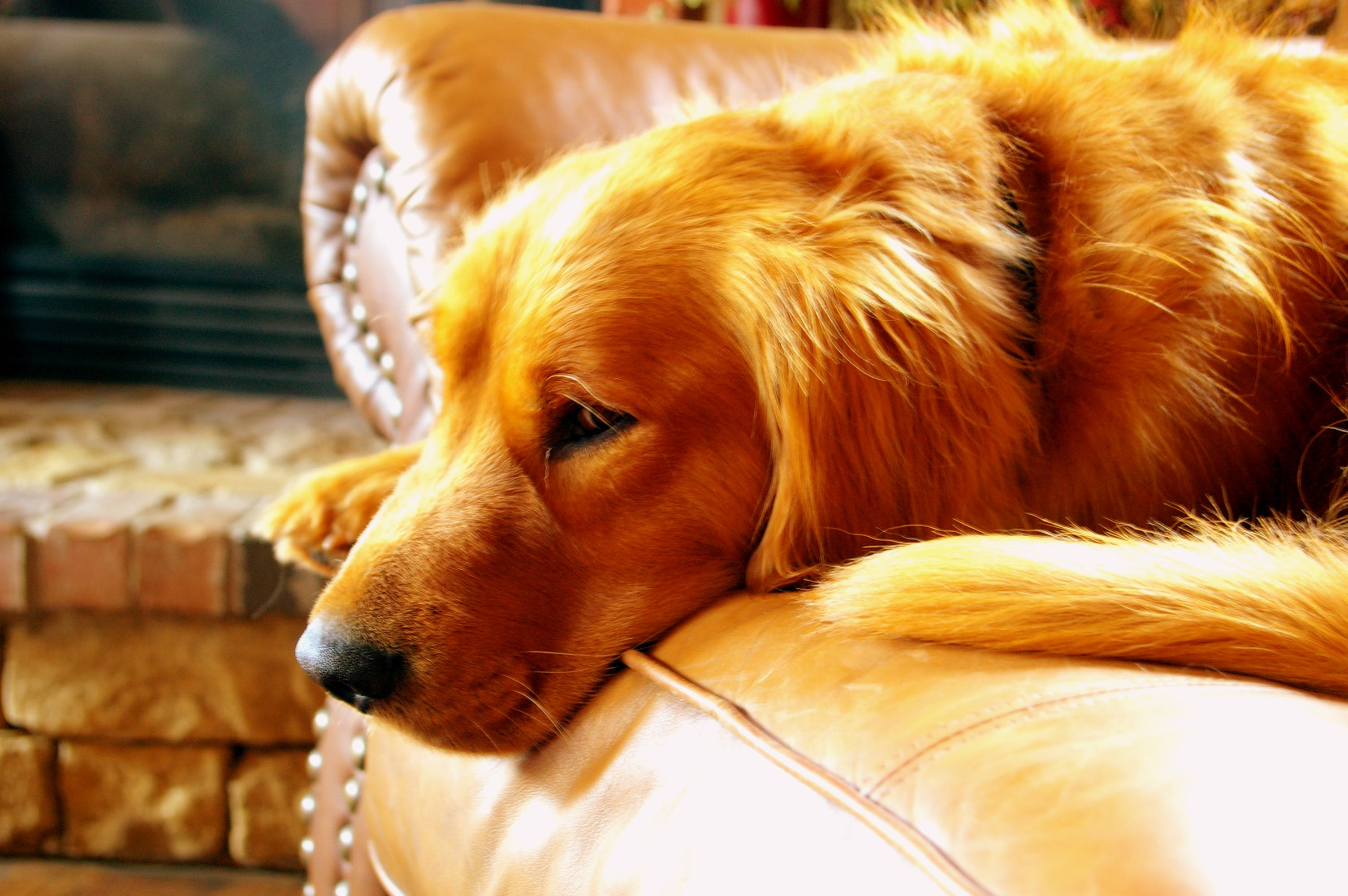 Adult Red Retriever Lying on Couch