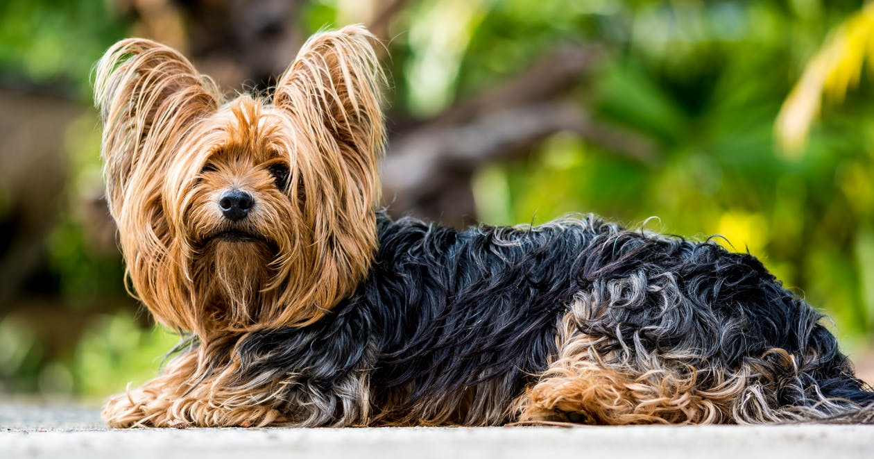 Black and Brown Yorkshire Terrier Sitting