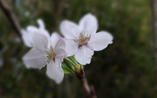 Бесплатное стоковое фото с вишня