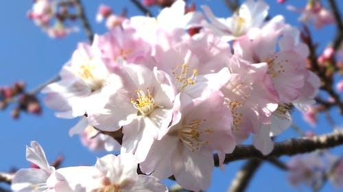 Бесплатное стоковое фото с цветы вишни