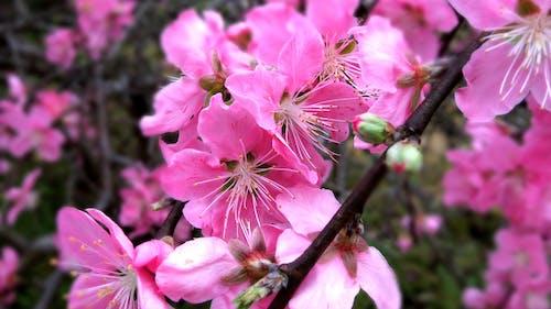 Бесплатное стоковое фото с персик