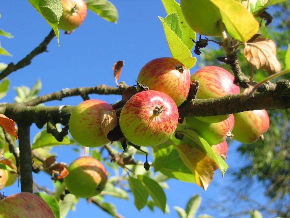 äppelträd, äpplen, färgrik