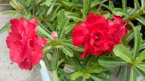 Darmowe zdjęcie z galerii z hoa sứ đỏ