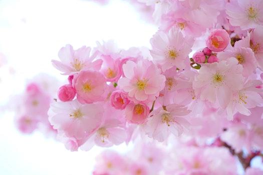 Kostenloses Stock Foto zu blumen, frühling, baum, pink