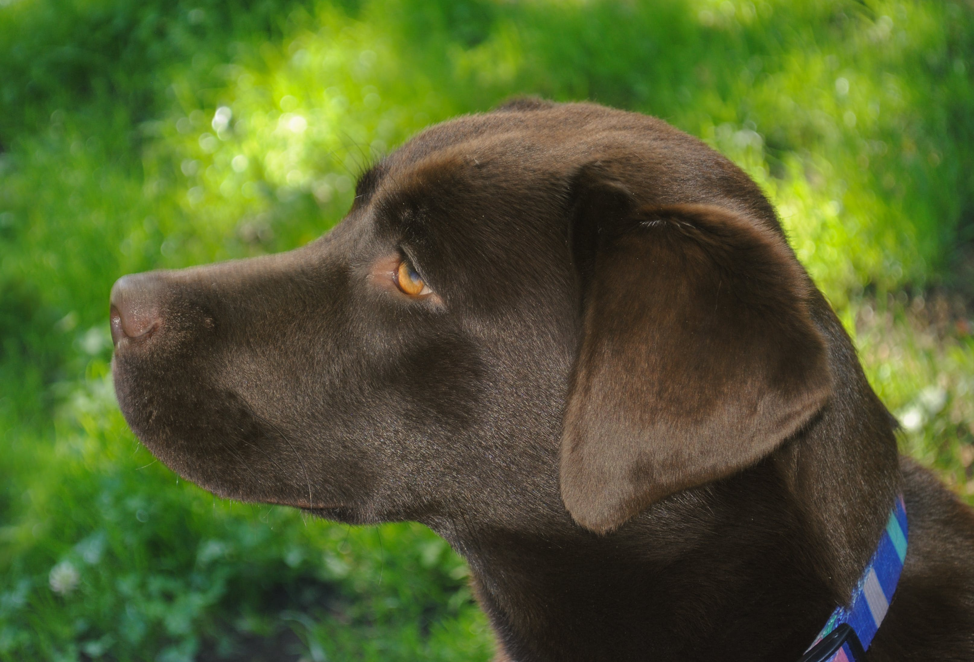 Free stock photo of dog, labrador, young, portrait