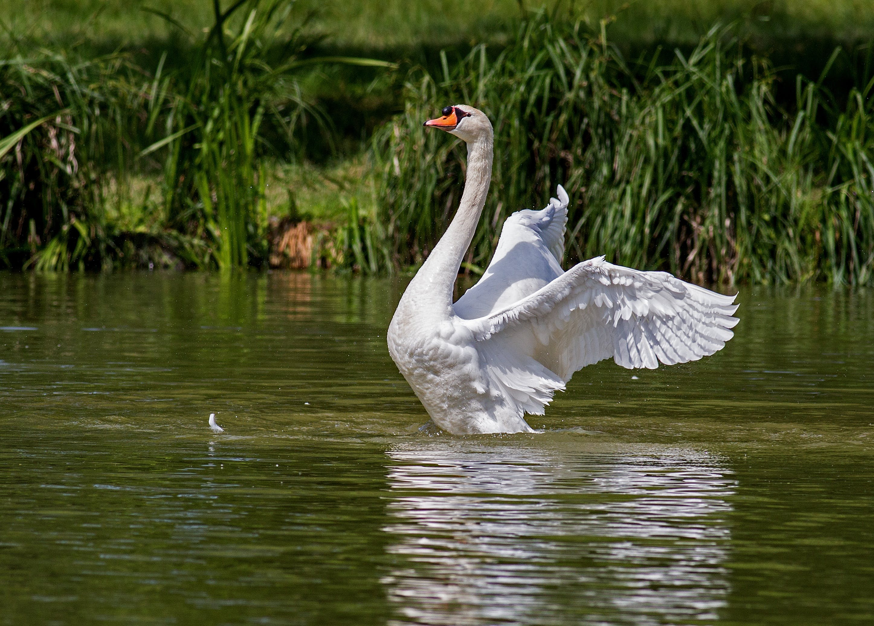 White Swan on Green Body of Water