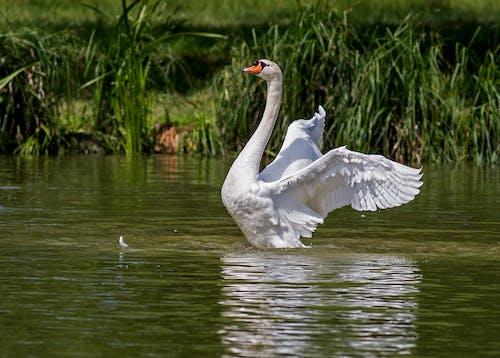 Gratis lagerfoto af dyr, fugl, sø, Svane
