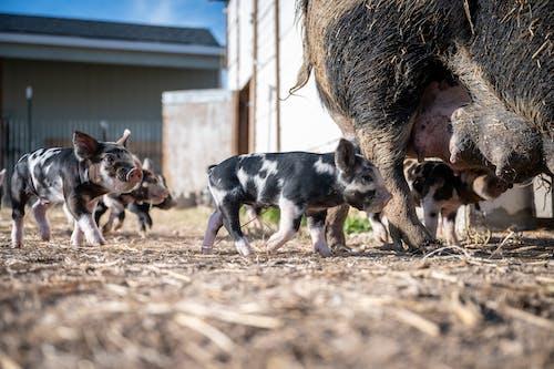 Piglets standing near big pig on farm