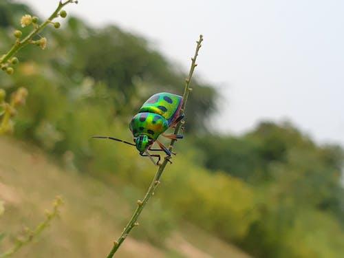 Darmowe zdjęcie z galerii z bokeh, chrząszcz, chrząszcze