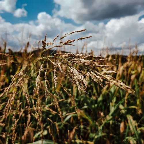 Free stock photo of beauty of nature, blue sky, cereals