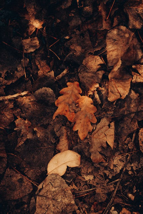 Fallen oak leaves on dry ground