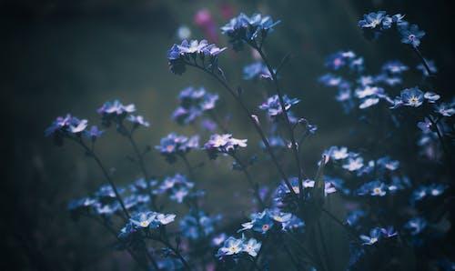 Kostnadsfri bild av anläggning, blå blommor, blad, blomma