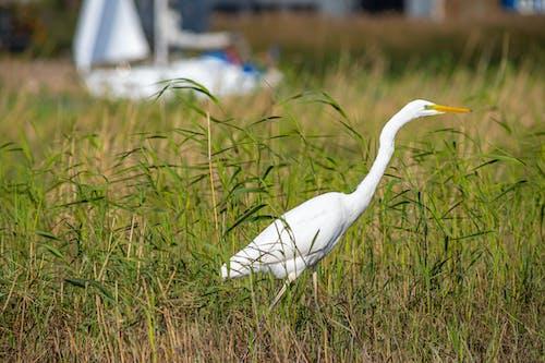 White Bird Flying over Green Grass