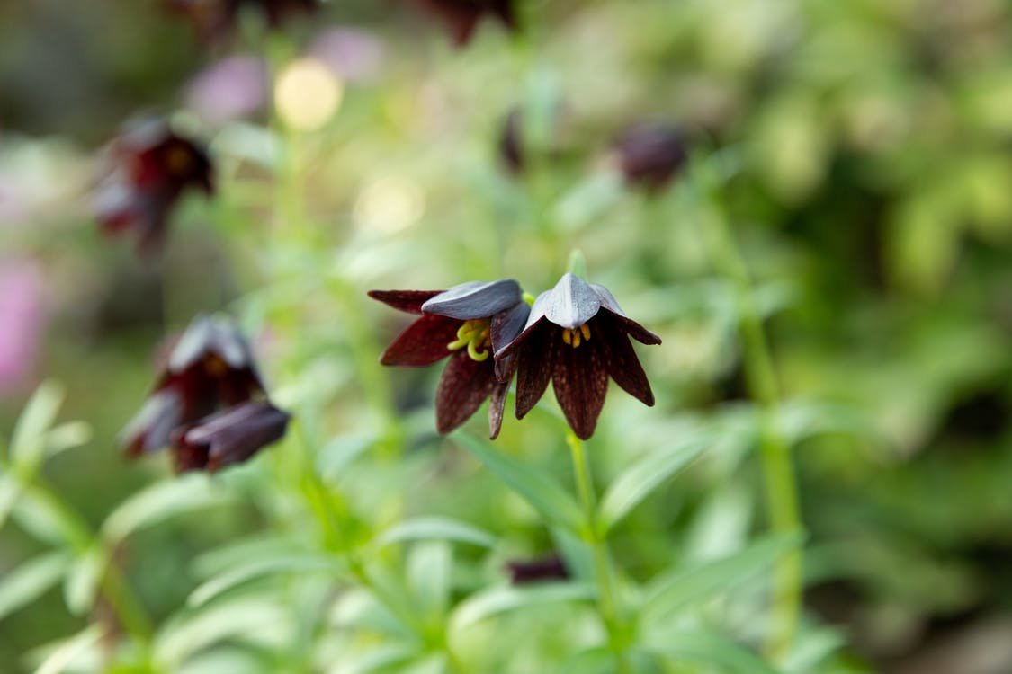 Small delicate blooming Chocolate lily flowers growing in garden in daytime against blurred background