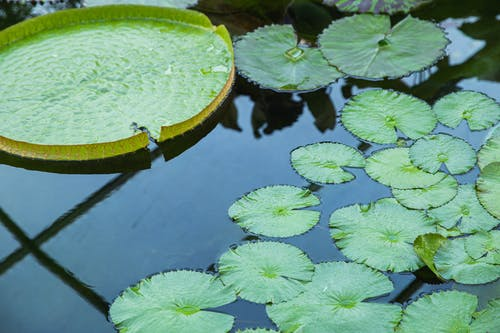 Water lilies growing in clear pond