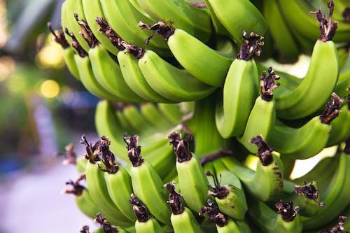 Green bananas ripening on tree branch