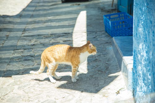 Tabby ginger cat with white chest standing near blue wall under sunlight on pavement with shadow in district of old town