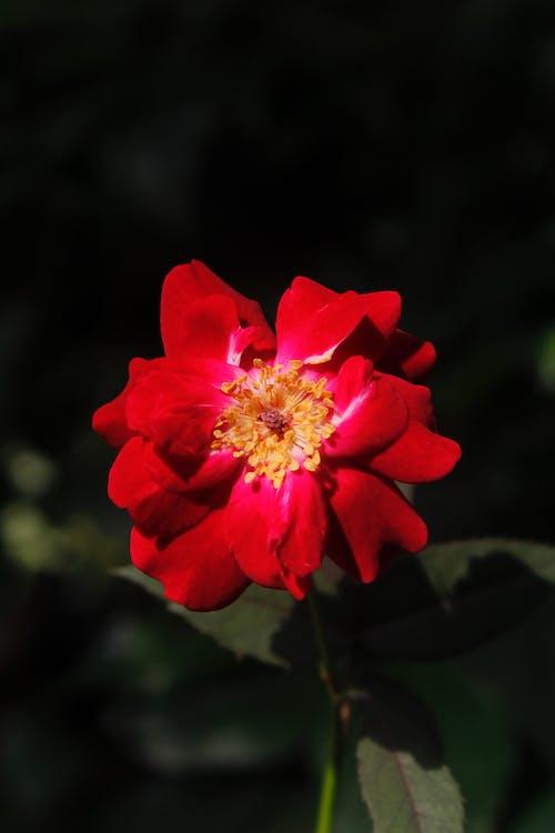 Close-Up Shot of a Red Garden Rose