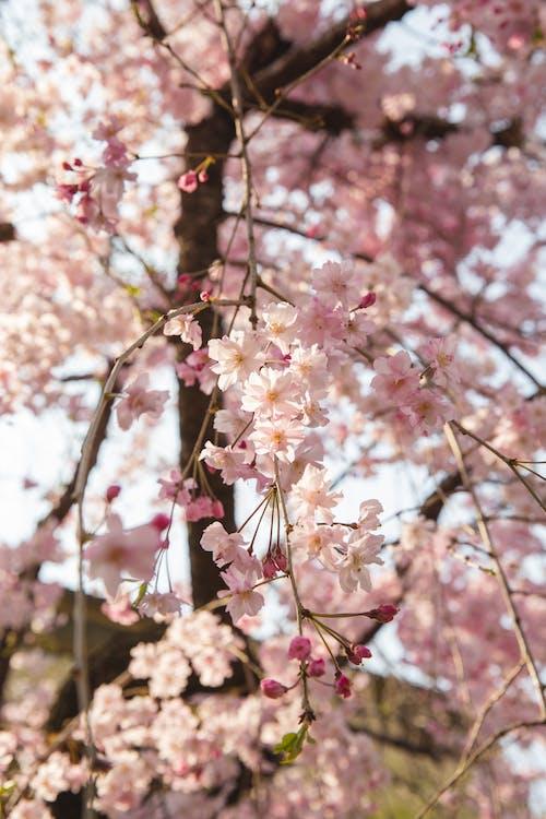 Цветущая розовая сакура в саду
