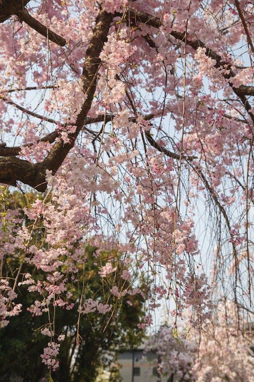 Blooming Sakura tree growing in park in daytime
