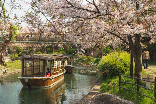 Picturesque scenery of calm river channel with floating oriental boats located in green park with Cherry blossom in sunny day