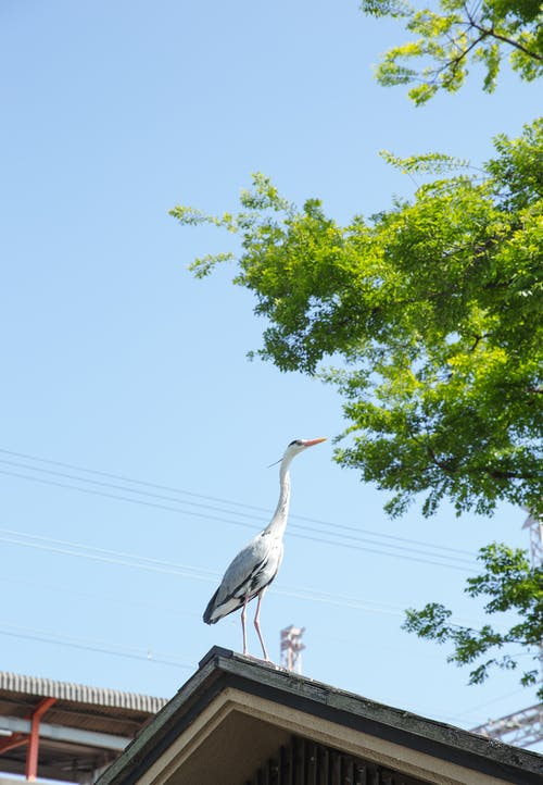 Grey heron standing on roof of house