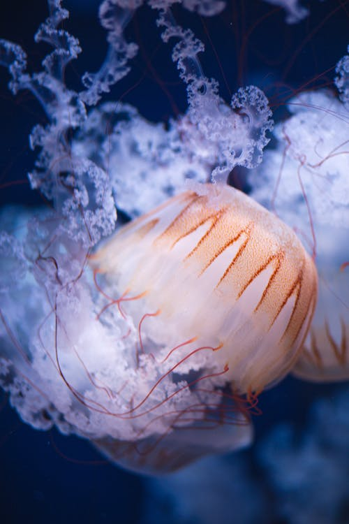 Closeup of white and orange huge jellyfish with long tentacles swimming in deep blue water