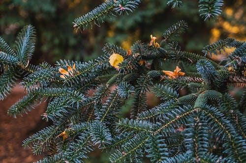 Foto profissional grátis de abeto, agulhas, árvore, bokeh