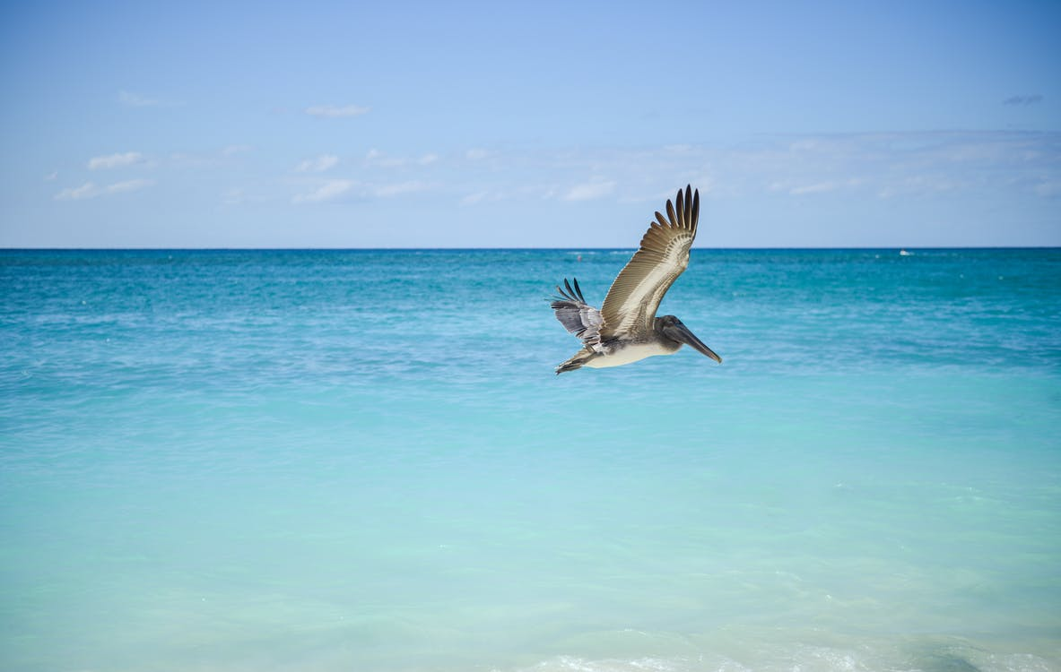 Gray and White Pelican Flying Above Large Body of Water