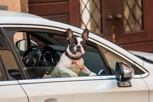 Free stock photo of bulldog, car, car window