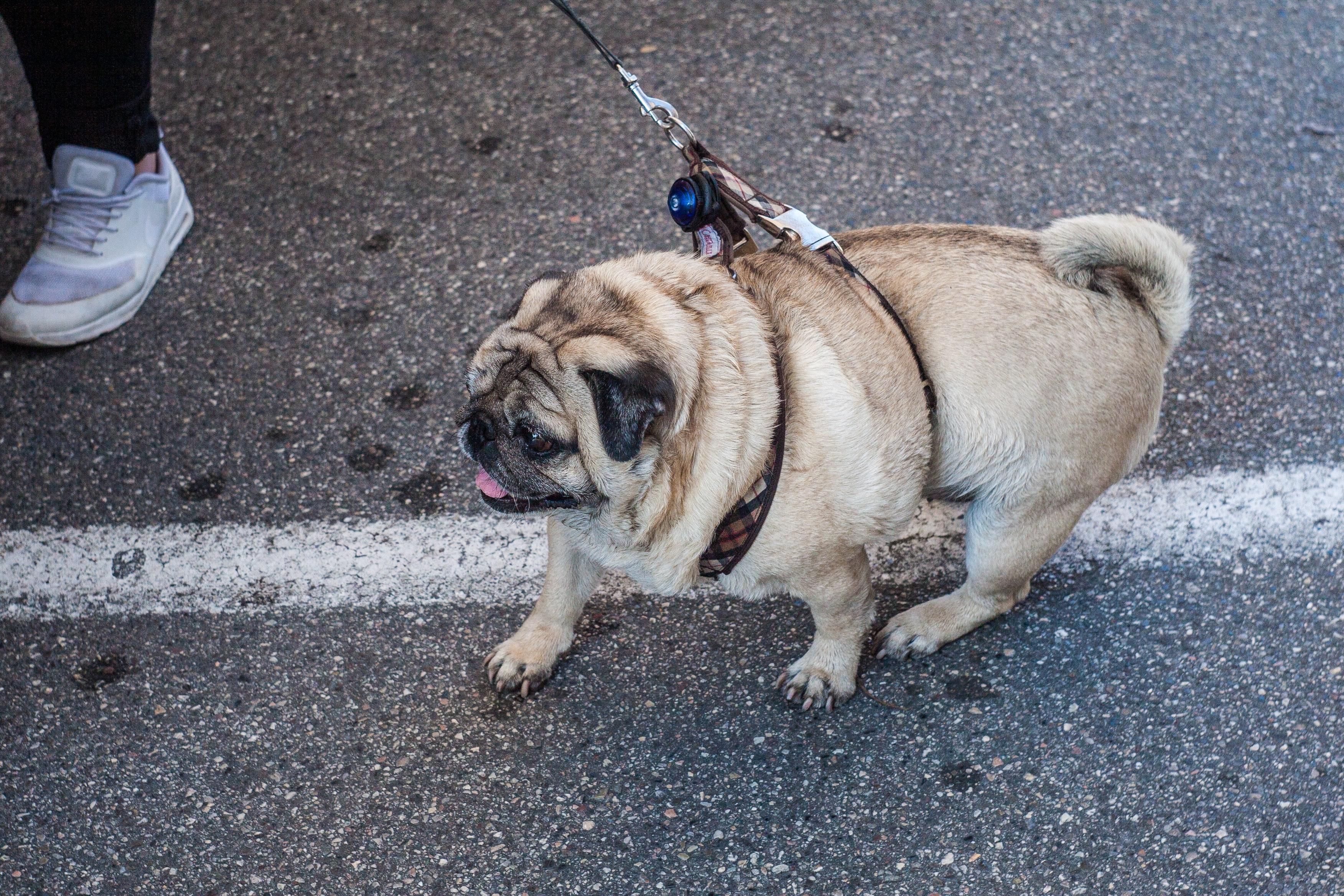 Free stock photo of dog fat dog italy